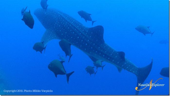 Nautilus_Explorer_WhaleShark_MikkoVarpiola2