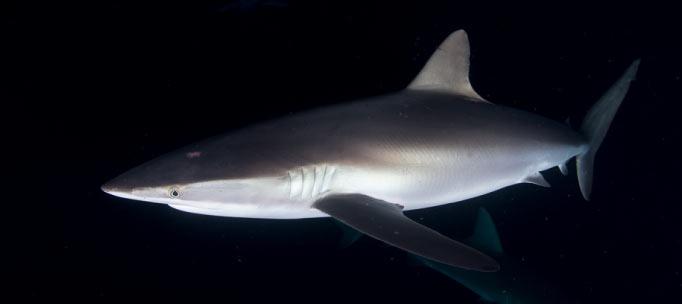 requin soyeux dans les eaux de la nuit noire