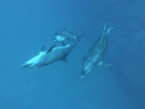 a pod of three bottlenose dolphins with their signature curious appearances