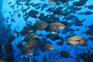 a huge school of fish, resembling the nearby rock wall
