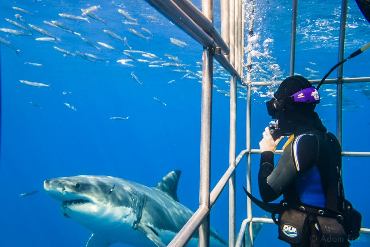 Diver and shark at Guadalupe, Photo by Adam Fram