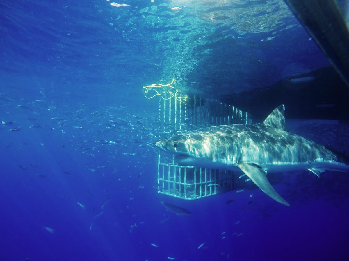 Great white and cage