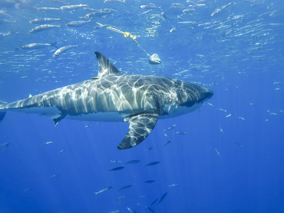 A great white delights novice divers at Guadalupe