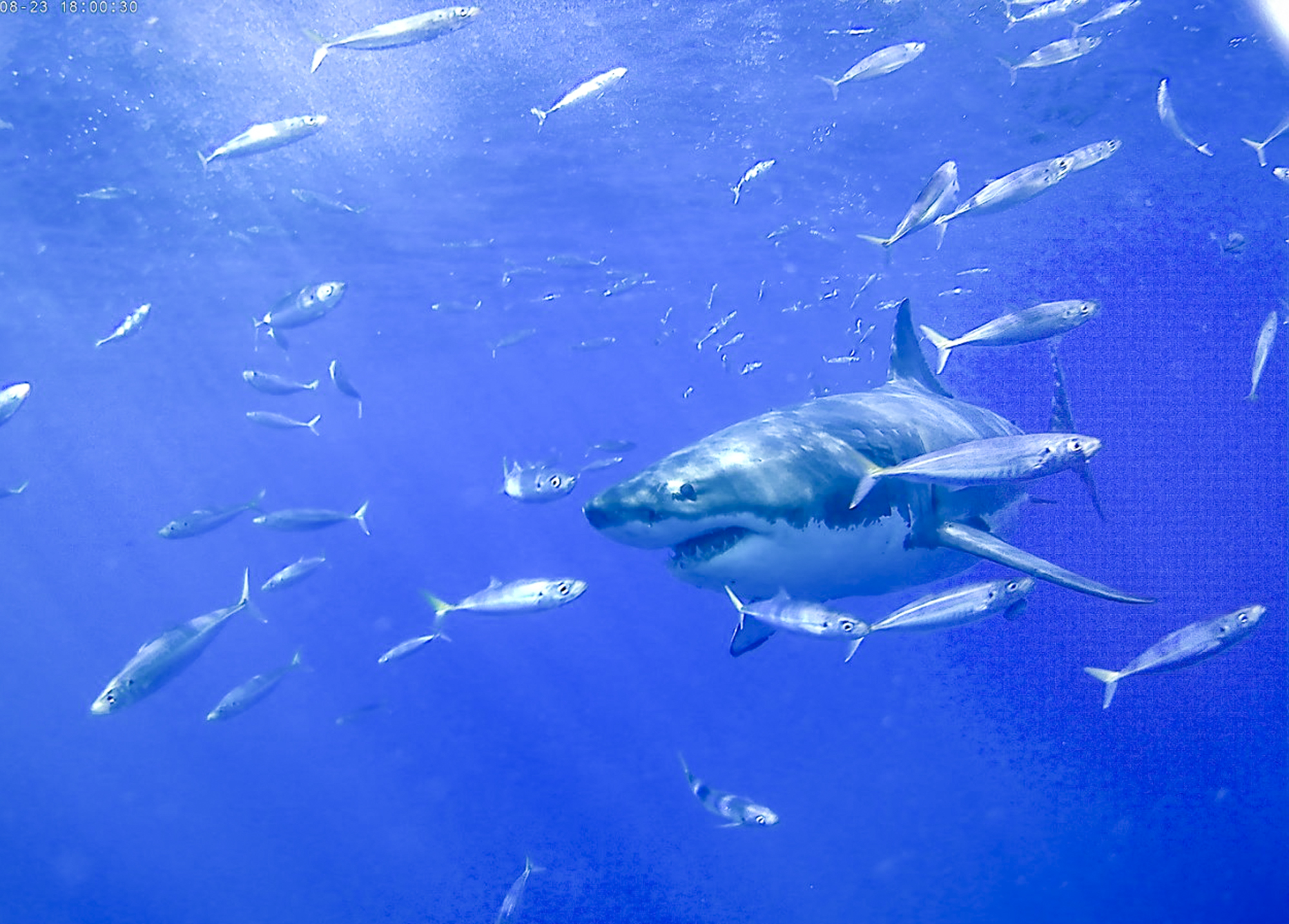 A great white among fish, Photo by Robin Brown