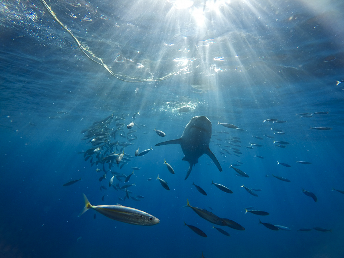 """A sharky swims through the """"God Rays"""" at Guadalupe"""