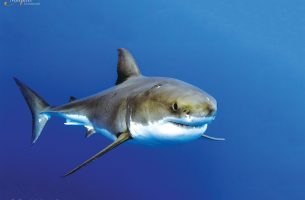 Guadalupe-great-white-sharks_002r