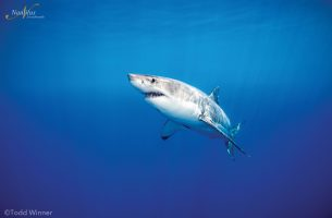 Guadalupe-great-white-sharks_004r