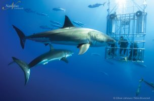 Guadalupe-great-white-sharks_005r