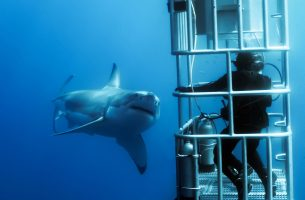 Guadalupe-great-white-sharks_007r