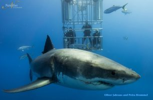 Guadalupe-great-white-sharks_010r