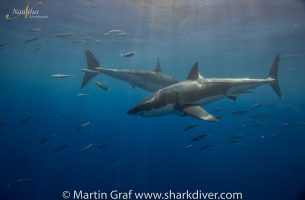 Guadalupe-great-white-sharks_011r