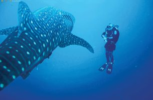 Socorro-whale-shark-002