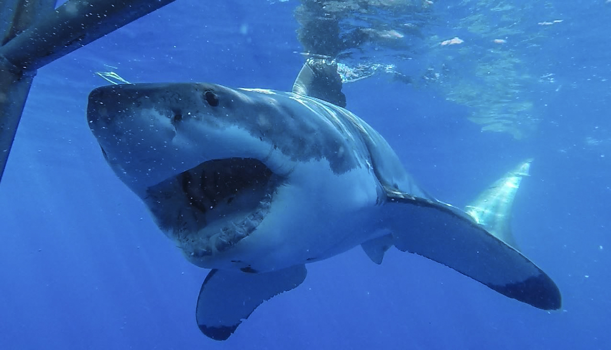 A great white shows off it's impressive jaws! Photo by Divemaster Jessie