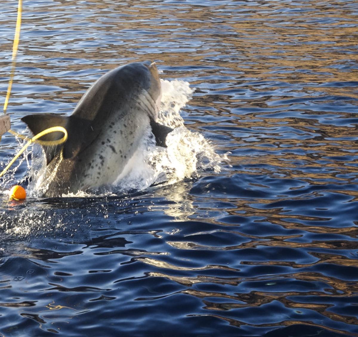 A partial shark breach