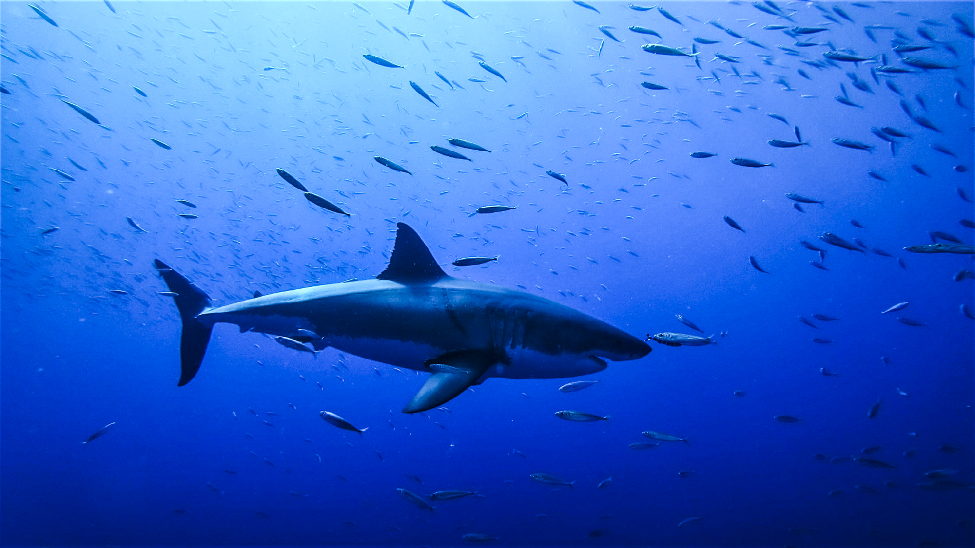 A great white swims through mackerel in the blue. Photo by DM Jessie