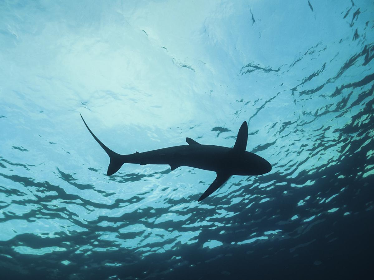 A shark from underneath. Photo by Andreas Marohn