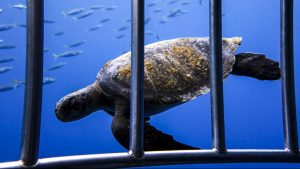 A turtle swims past the cages in Guadalupe...