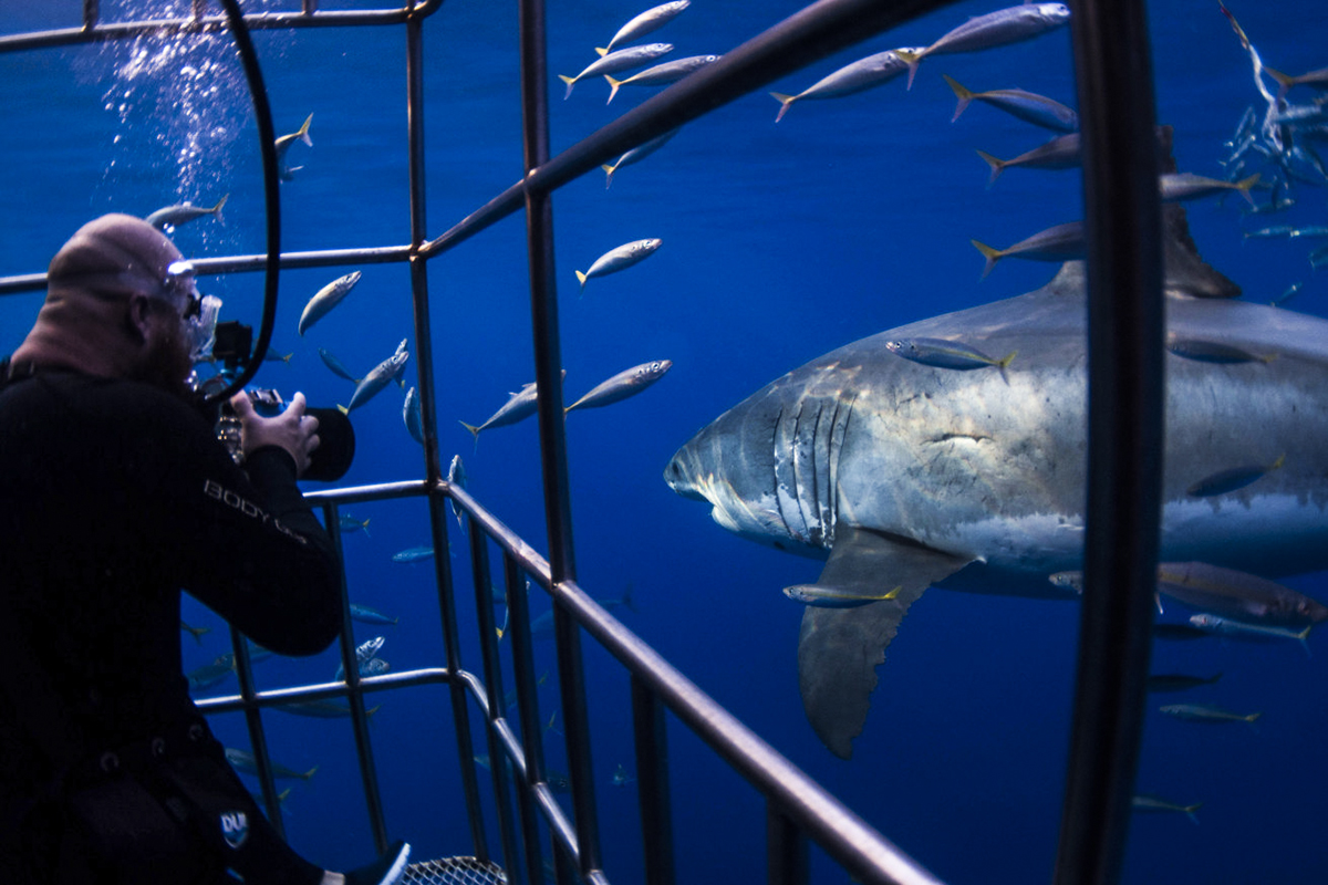 A great white glides past a photographer in the cage. Photo by Nikki Sevy