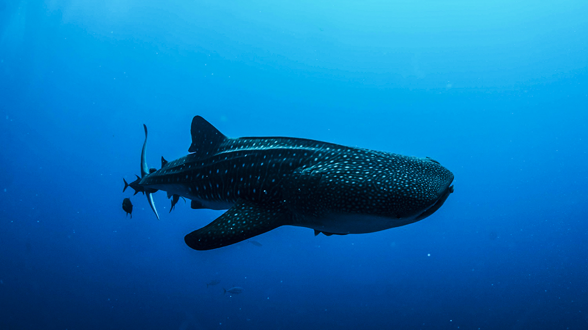 A whale shark at Socorro. Photo by Gerald Smuegg