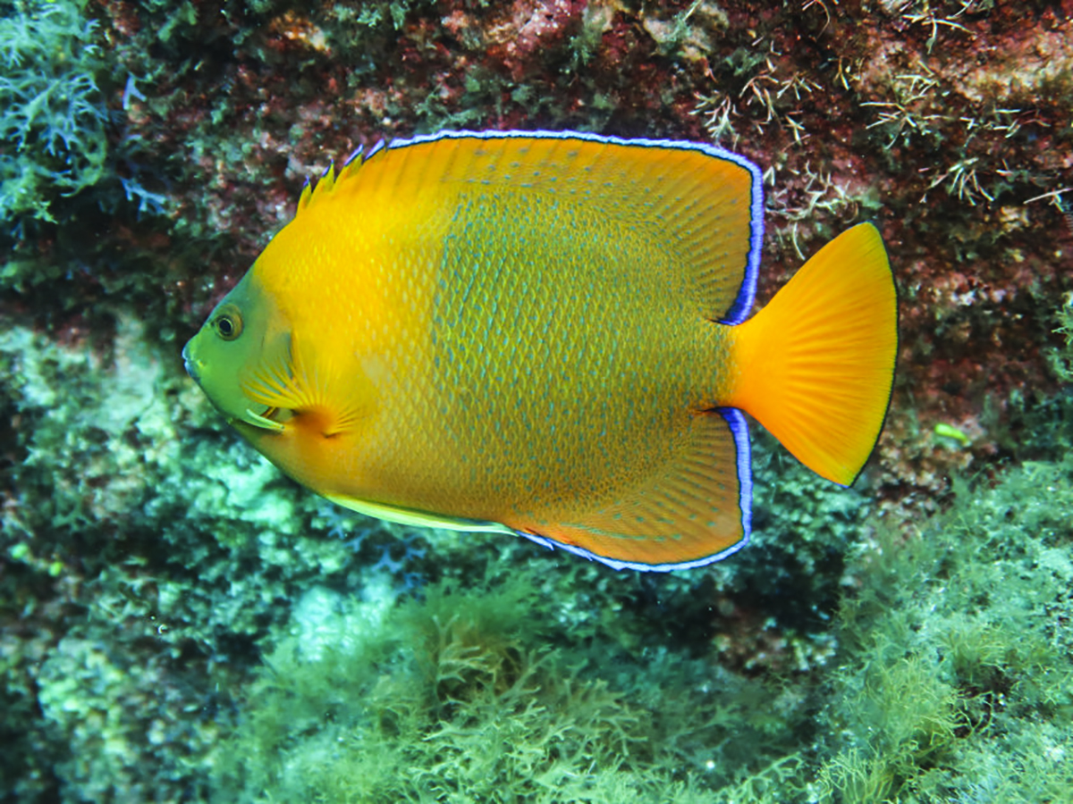 The beautiful endemic Clarion Angelfish.