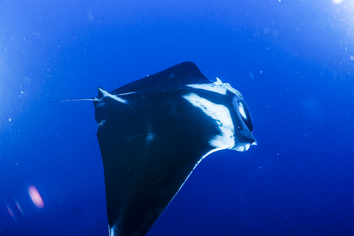 A beautiful manta in Socorro.
