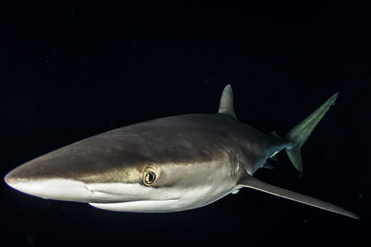 A silky shark during the night snorkel! Photo by Josh Blank