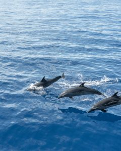 Bottle nose dolphins from the Gallant Lady