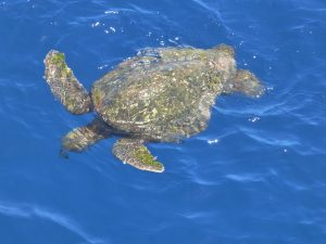 Sea turtle makes an appearance at the surface