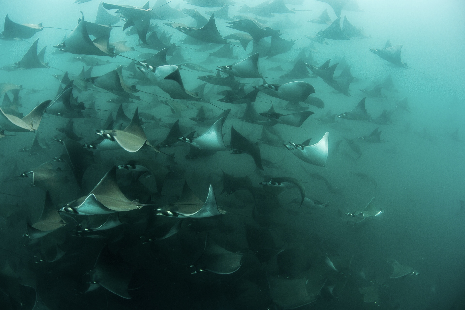 Snorkeling with Mobula ray school cabo san lucas