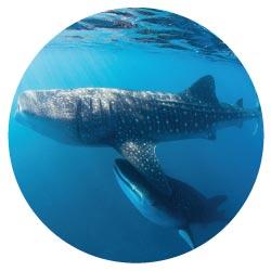 Plongée en apnée avec les requins baleines Bahia de Los Angeles