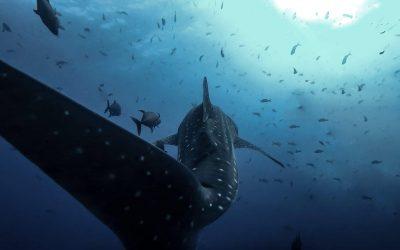 Requin baleine en plongée écologique à Socorro