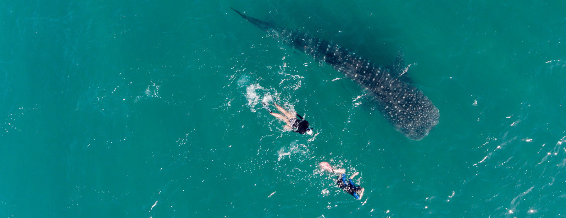 Requin-baleine de la mer de cortez bahia