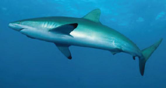 Silky shark at San Benedicto
