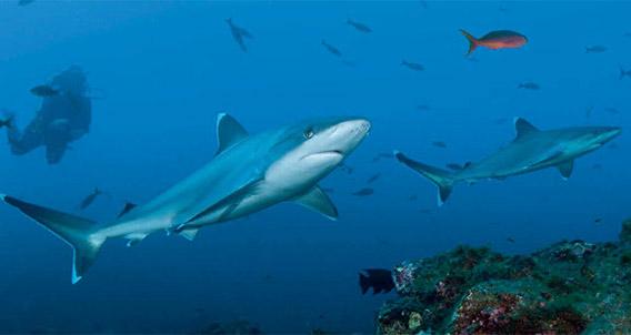 Silvertip sharks