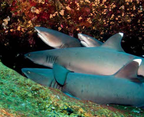 Whitetips resting at Roca Partida, part of the shark Highway