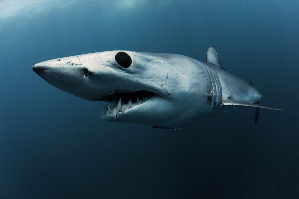 Mako Shark : An Endangered Species