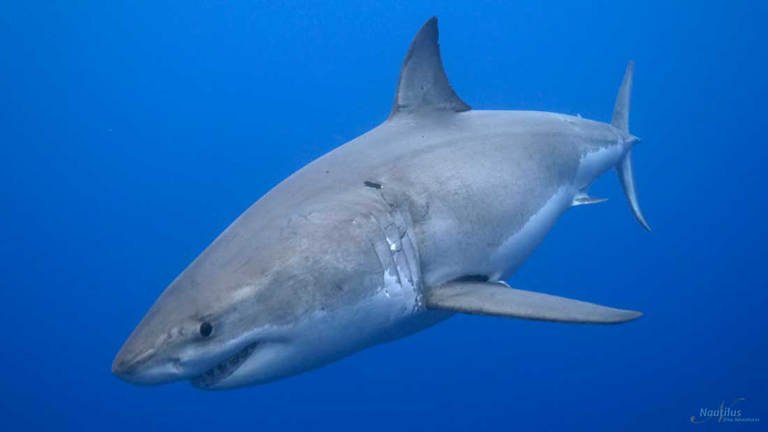Face-to-Face with Great White Sharks - Nautilus Liveaboards