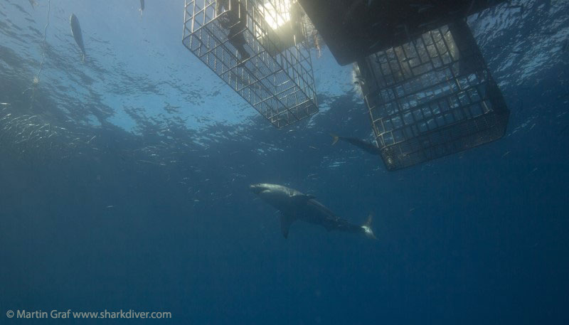 Submersible cage  at Guadalupe - Martin Graf